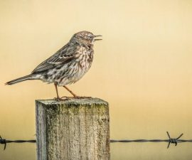 "Featured image - ""Medow Pipit on Fence Post"" by Christine Lowe"