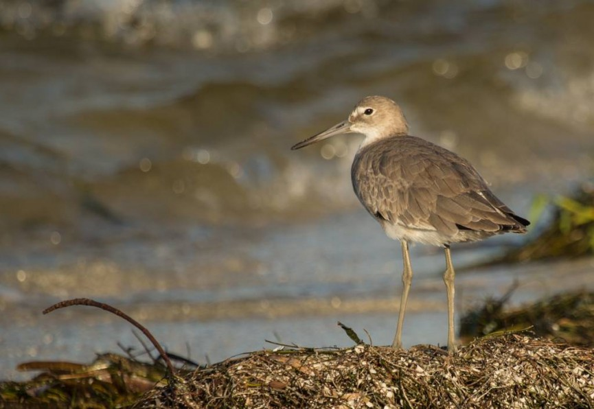 """Juvenile Willet on Shoreline"" by Bert Whittlestone First Place in Natural History Section and Best Overall PDI in the Competition"