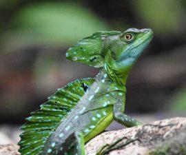 """Plumed Basillisk Lizard"" by Amy Ashley Mather"