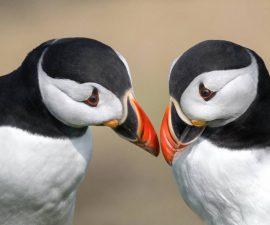 puffin pair