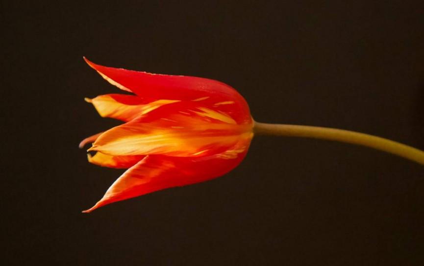 Tulip 1 by Sarah Bevan