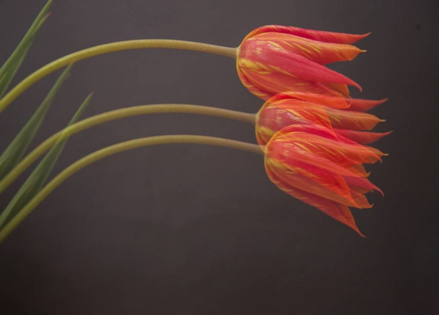 """!st Place -  """"3 Tulips"""" by Sarah Bevan"""