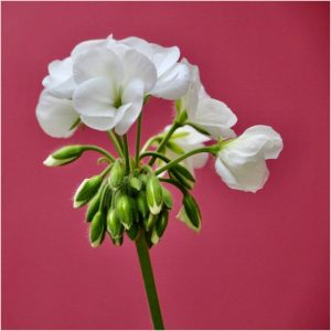Pelargonium Portrait