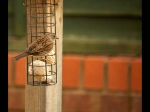 Sparrow at breakfast