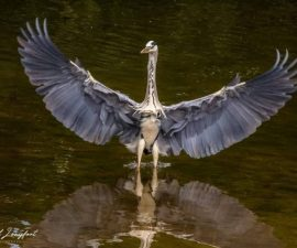 Heron in Sefton Park by Phil Longfoot