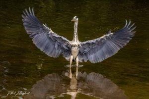 Heron in Sefton Park by Phil Longfoot