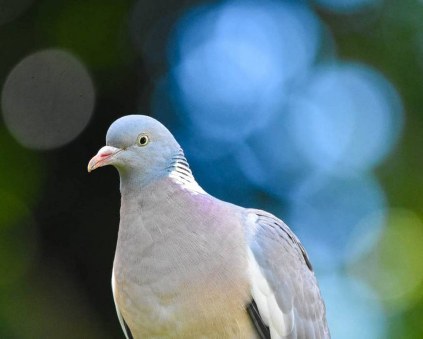 Amy Ashley-Mather Wood pigeon