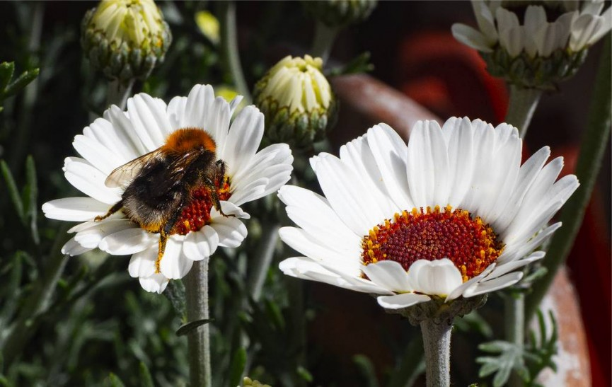 """Bee in the Rhodanthemum"" by Tony Myers FRPS"