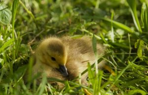 """Gosling in the Grass"""