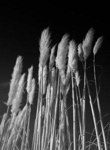 """""""Pampas Grass"""" Martin Reece ARPS"""