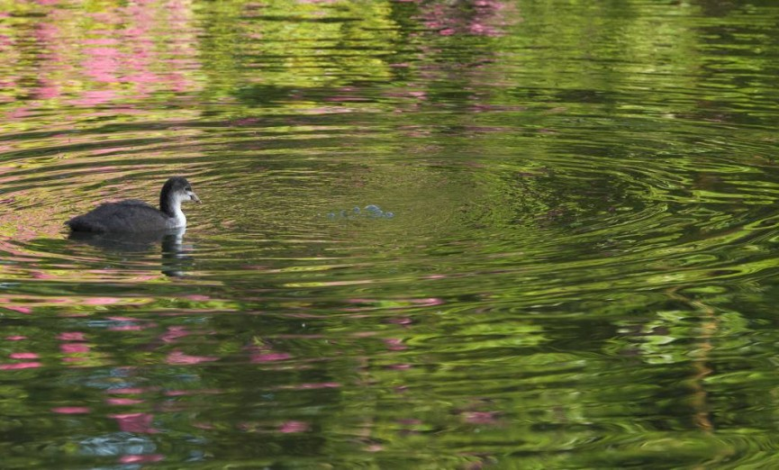 """Coot in Dabbled Water"""