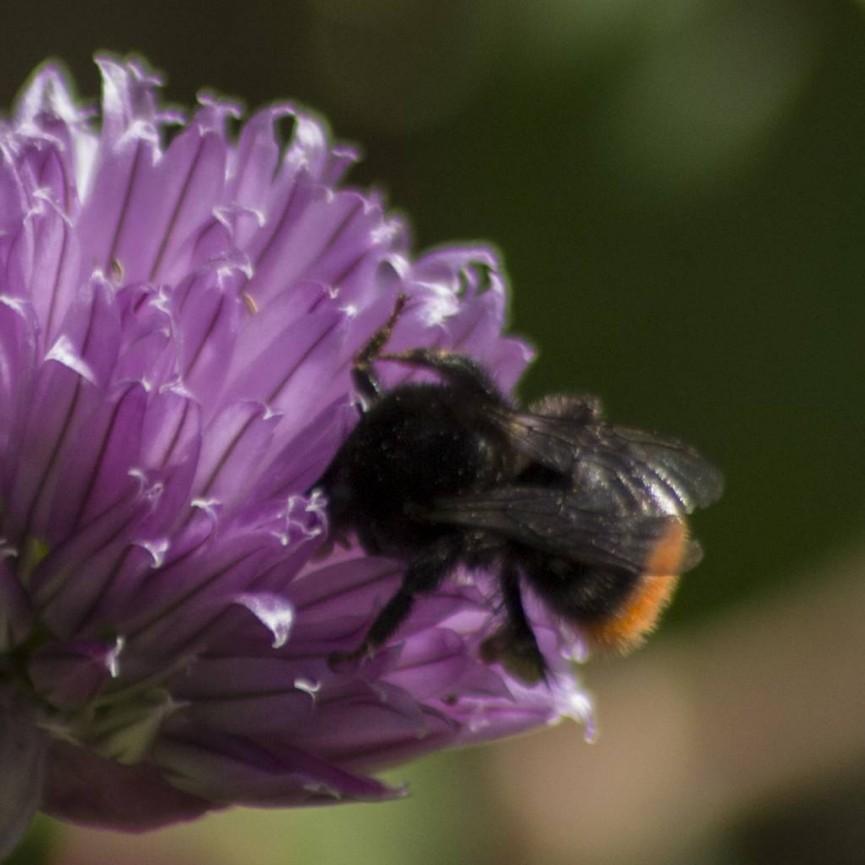 Alan Cargill Bee on Flower