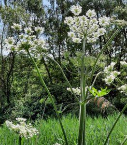 John T. Giant Hogweed. Moore Nat. Reserve