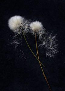 Simon Rahilly, Cotton Grass