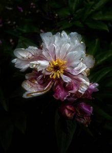 Simon Rahilly, The Last of the Peonies