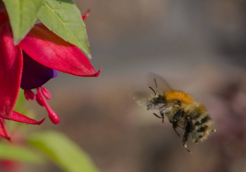 Alan Cargill Bee heading for Fuchsia