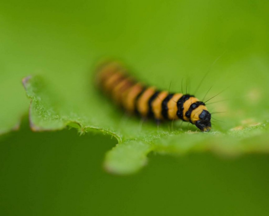 AmyAshley-Mather Cinnabar Caterpillar