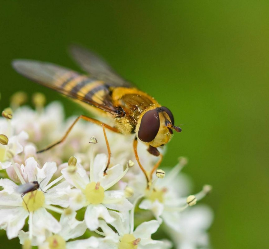 AmyAshley-Mather HoverFly