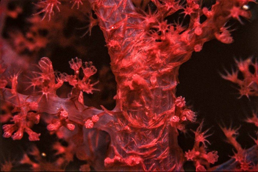 Gorgonian Soft Coral_Red Sea