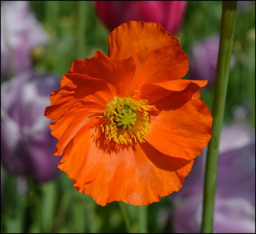 Orange Poppy - Ann Roberts