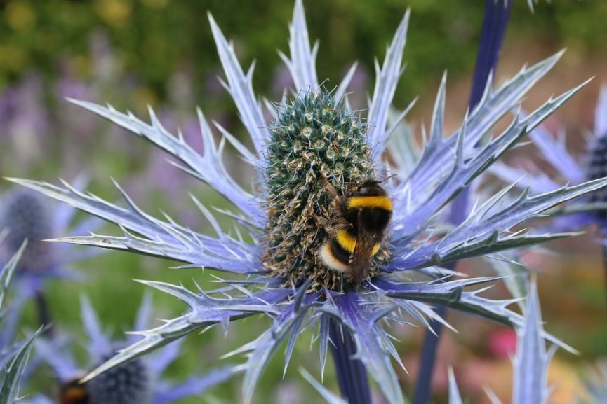 Paul Hamilton;Bee on Sea Holly