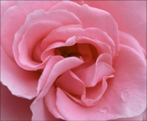 Pink Rose - Ann Roberts