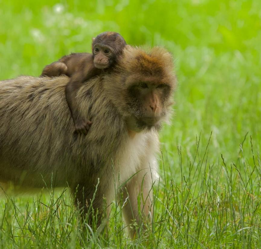 Sarah Bevan - Macaque Mother & Baby Trentham