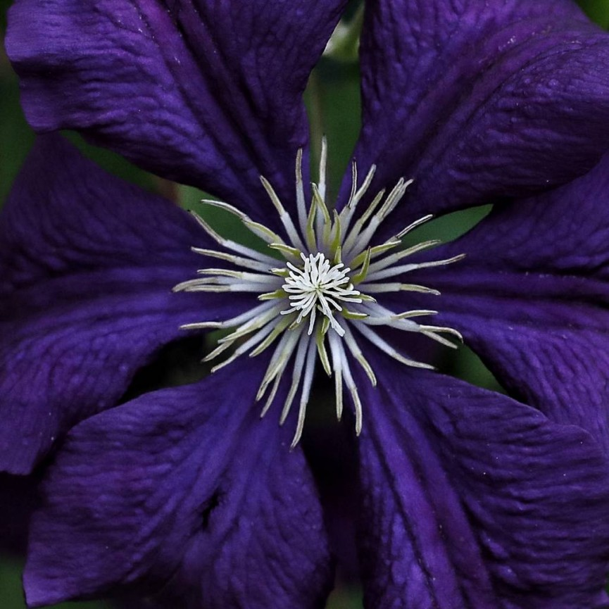 Simon Rahilly LRPS  - Clematis