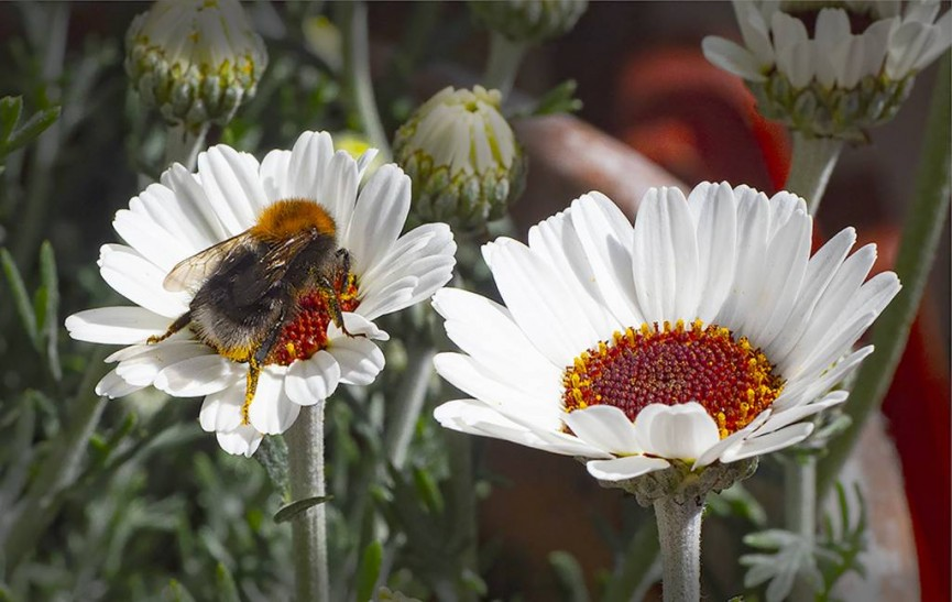 Tony Myers FRPS - Bee in the Rhodanthemum