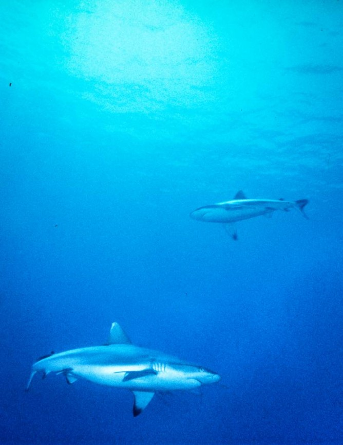 Derek Gould_Circling Oceanic White Tip Sharks_Action and Motion