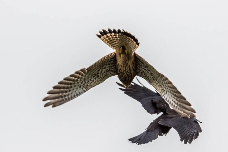 Derek Gould_Kestrel Attacking Jackdaw_Action and Motion