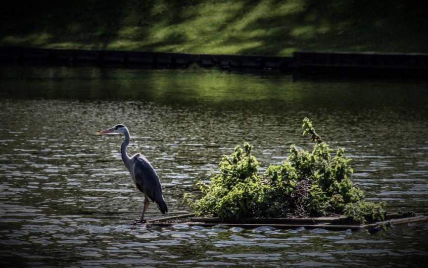 Heron in Park.