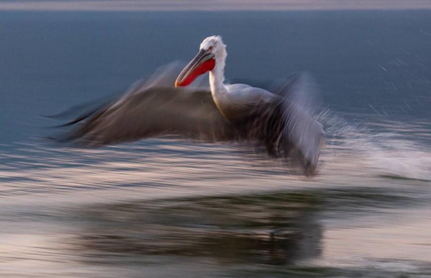 Martin Reece Dalmatian pelican-2