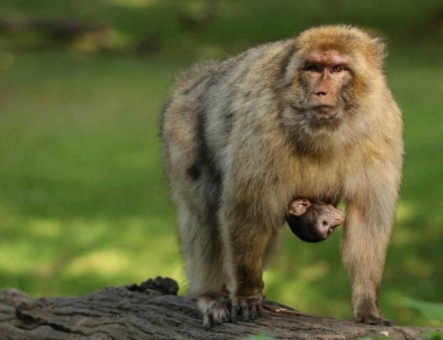 Sarah Bevan - Barbary Macaques