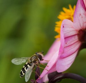 Sarah Bevan_Insect on Dahlia