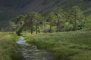 Simon Rahilly_Scots Pines at Buttermere