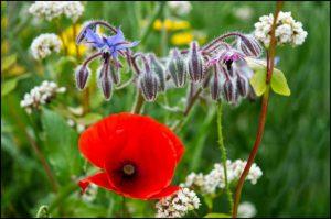 Wildflowers - Ann Roberts