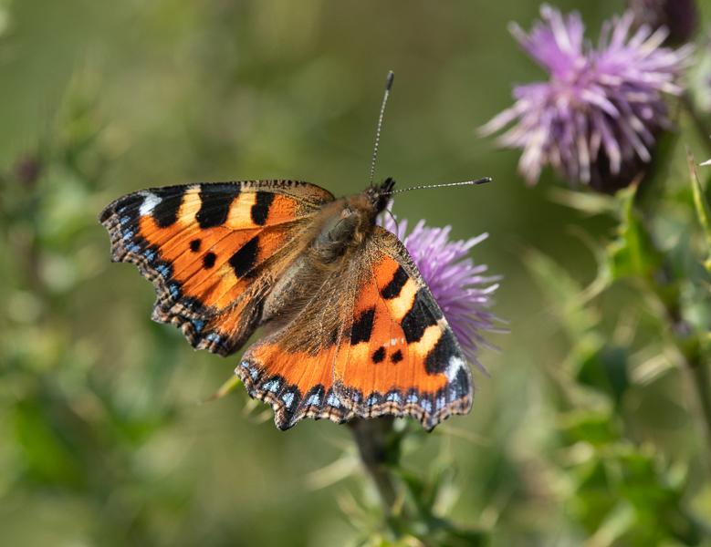 Christine Lowe LRPS - Tortoiseshell Butterfly