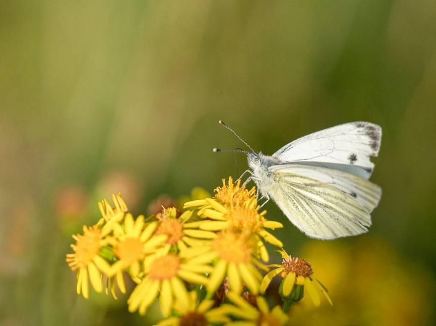 Christine Lowe - Butterfly on ragwort