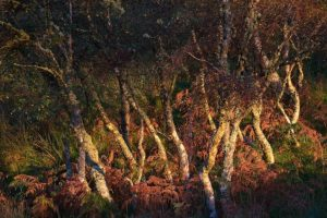 Birch Trees at Sunset on Shuna