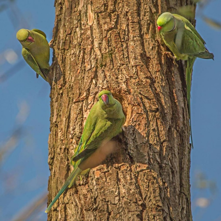 """Ring Necked Parakeets in Sefton Park"" by Peter Tormey"