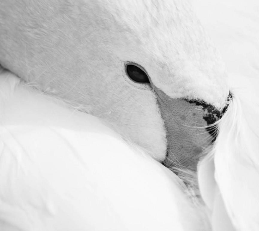 Sleeping Swan by Amy Ashley Mather