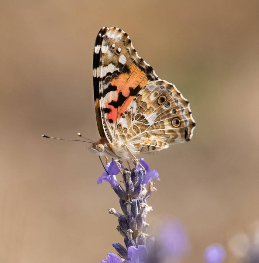 Painted Lady by Christine Lowe