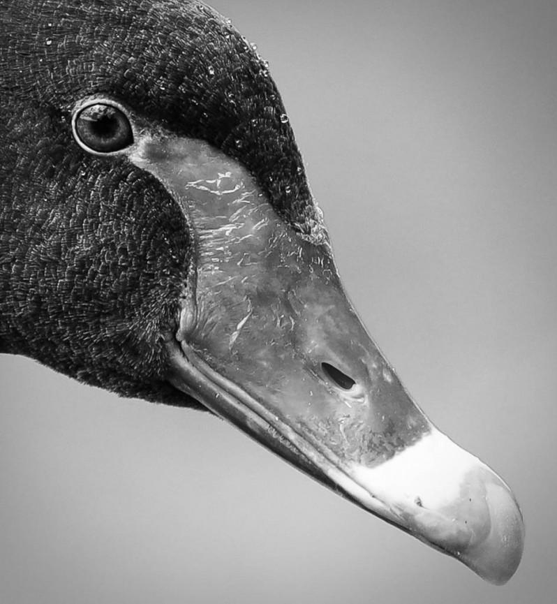 Black Swan by Sarah Bevan