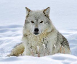 grey wolf guarding carcass