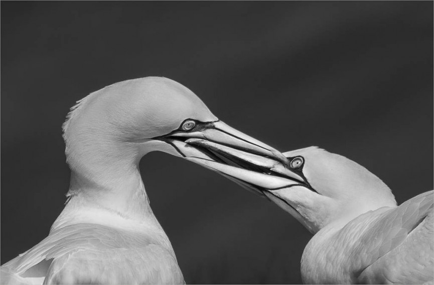 3rd Place - Gannet pecking order by Christine Lowe