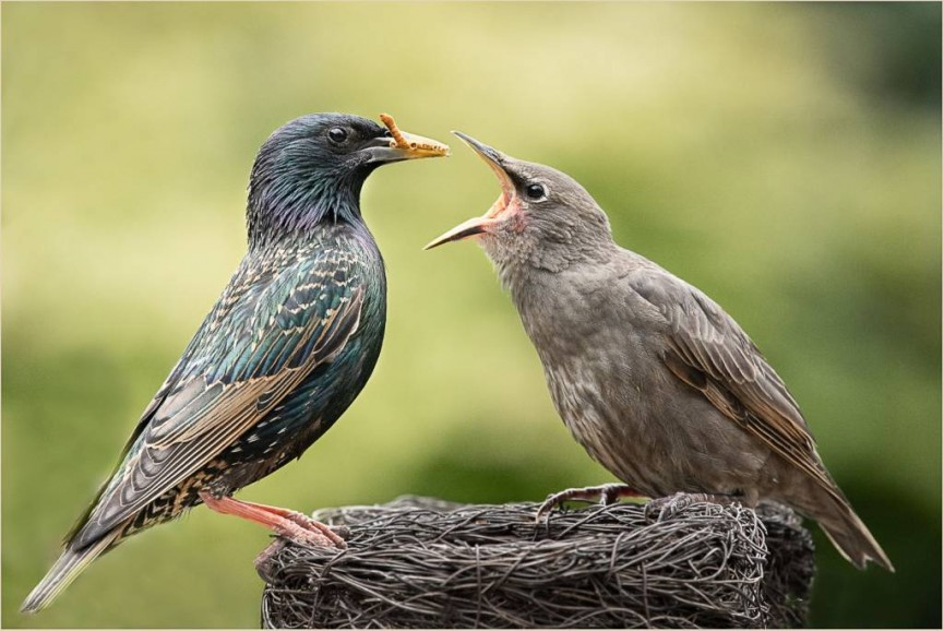 2nd Place - Starling Feeding Chick by Christine Lowe