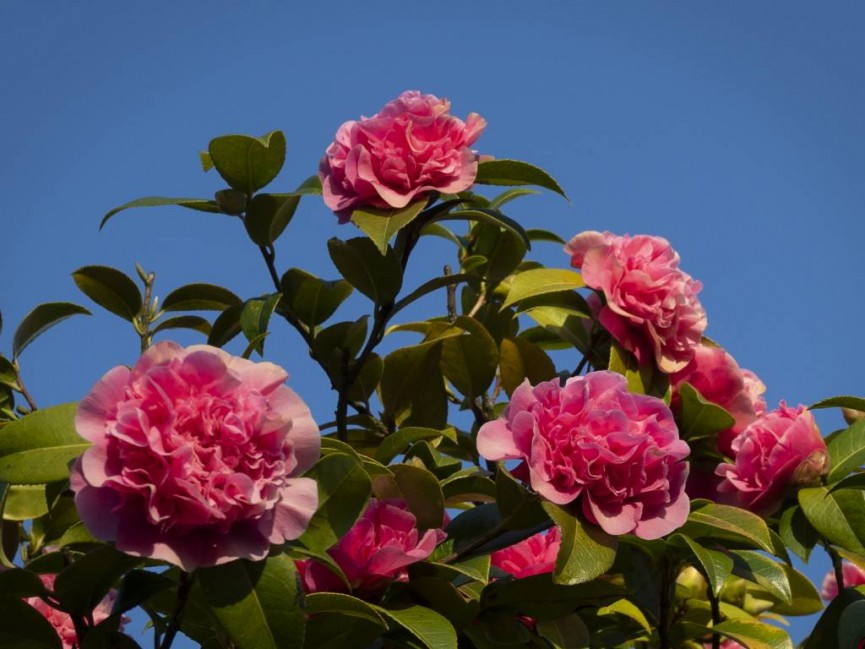 Camellia blossoms in March by Barbara Green