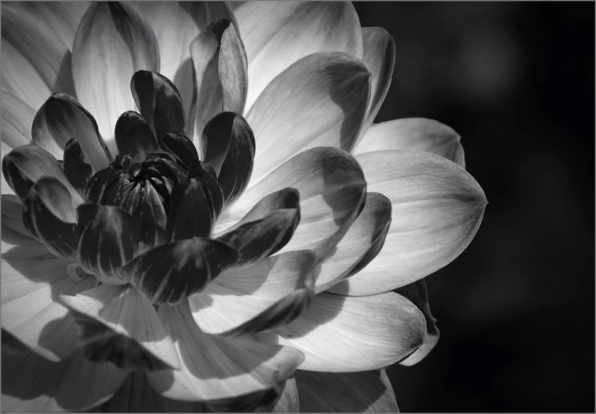 Dahlia blossom by Barbara Green - Highly Commended