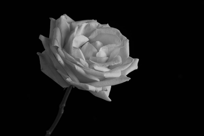 Rose by Sarah Bevan - Second Place